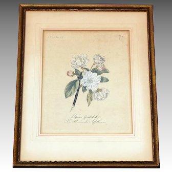 Antique Botanical Engraving Hand Colored  19th Century Pyrus Spectabilis German 1808