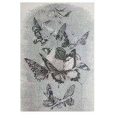 c1889 Butterflies Print Engraving Butterfly Antique Victorian
