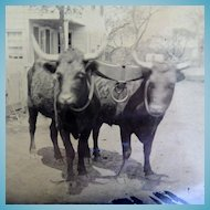 Rare 1/2 Plate Tintype of Two Oxen