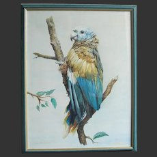 Blue & Yellow Parrot by John Baxendale (1919-1982) Watercolour Painting