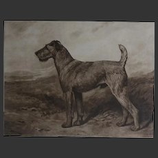 Antique  1906 John EMMS - signed - etching Irish Terrier Dog Champion Harborne Burgomaster