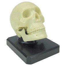 "Vintage figural skull with moveable jaw desk display ""Ivorine Dentoform Corp New York"""