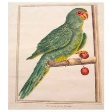 Superb Hand Colored Etching Parakeet 19. Century