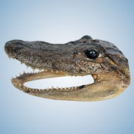 """Vintage Alligator Head Taxidermy 5.5"""""""