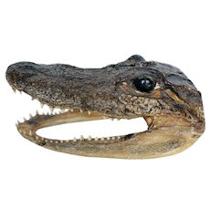 Vintage Alligator Head Taxidermy 5.5""