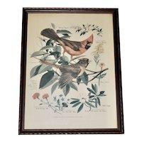Vintage 1950's Botanical & Bird Print of Cardinal by Arthur Singer