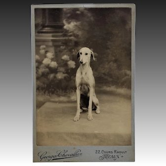 Antique French Cabinet Photograph ~ Demure Greyhound Dog