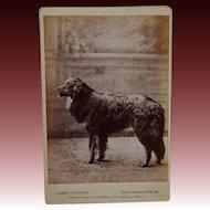 C1891 Antique Cabinet Photograph ~ Large Dog