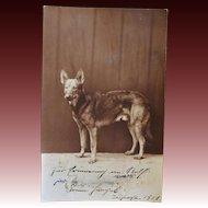 Early RPPC Postcard German Shepherd Dog ~ C1921