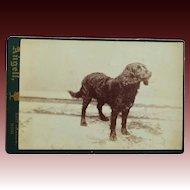 Antique Cabinet Photograph ~ Retriever Dog