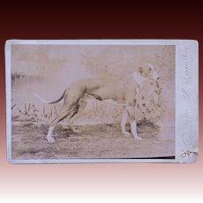 Antique Cabinet Photograph ~ Greyhound Dog