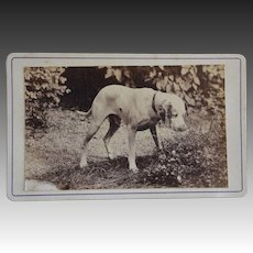 Antique French CDV Photo ~ Lovely Hound Dog