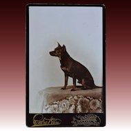 Antique Cabinet Photo ~ Manchester Terrier Dog
