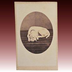 Antique CDV Photo ~ Labrador Dog