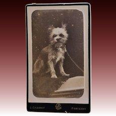 Antique CDV Photograph ~ Fuzzy Terrier Dog