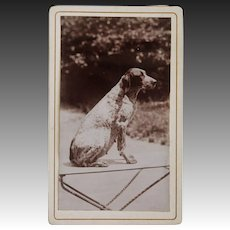 Antique CDV Photograph ~ Pointer Dog