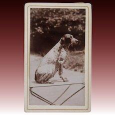Antique CDV Photograph ~ Pointer Dog