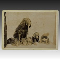 Antique Cabinet Photo ~ Water Spaniel Dog With Pups