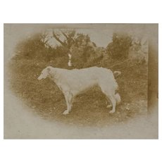 Antique RPPC Dog Postcard ~ Borzoi Russian Wolfhound