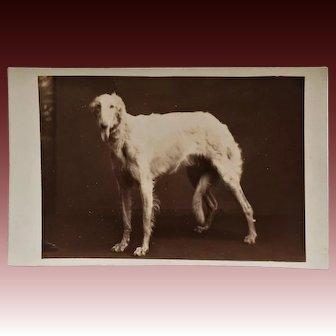 Antique RPPC Dog Postcard ~ Borzoi Russian Wolfhound
