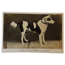 """Bob"" Daily Mirror Gugnunc Collar For Brave Dogs Postcard"