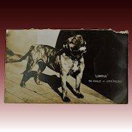 """WW1 Dog Mascot """"Lumpur"""" Mascot Of H.M.S Malaya"""