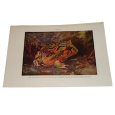 Horned Toad of South America Color Plate