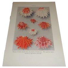 Ornate Bivalve Shells Gulf of California Color Plate