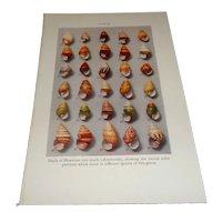 Shells of Hawaiian Tree Snails Color Plate