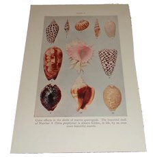 Shells of Marine Gastropods Color Plate