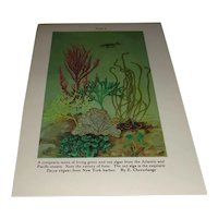 Vintage Color Plate Composite of Green and Red Algae