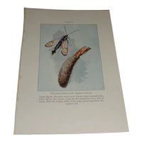 The Peach-Borer Moth Aegeria Exitiosa Color Plate