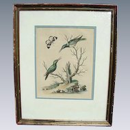 Rare Framed Hummingbird Engraving by George Edwards
