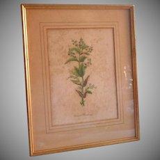 Vintage Botanical Print Framed Frame Veronica Beccabunga