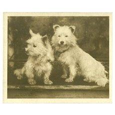 Miniature 'Midget' Rotary Photo Postcard of Skye Terriers