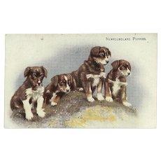 Vintage British Postcard of Newfoundland Puppies
