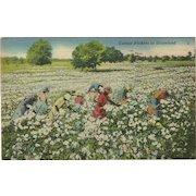 Black Americana Postcard of Cotton Pickers