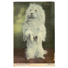 Toy French Poodle 1907 Postcard