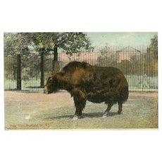 Vintage 1910 Postcard of Yak at the Buffalo NY Zoo
