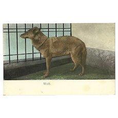 Austrian Undivided 1909 Postcard of Wolf