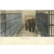 Undivided Austrian 1909 Postcard of Brown Bear