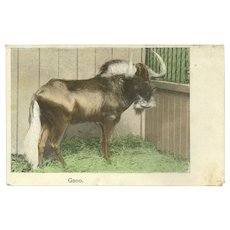 Undivided Austrian 1909 Photo Postcard of Gnoo or Gnu