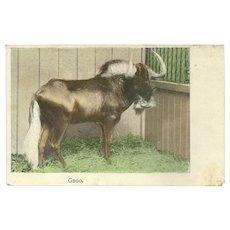 Undivided Austrian 1909 Photo Postcard of Gnoo or Gnu
