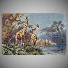 F. Perlberg Vintage Postcard of Giraffes