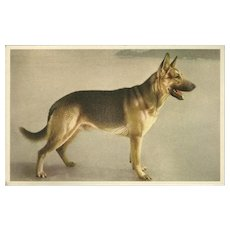 Alfred Mainzer Vintage Postcard of German Shepherd Police Dog