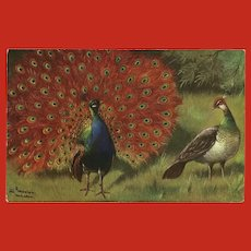 Alfred Schonian Postcard of Peacocks