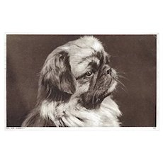 Photochrom Company Vintage Postcard of Pekingese Dog
