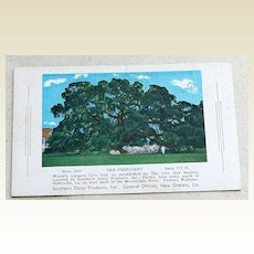 "Vintage Postcard ""The President"" World's Largest Live Oak Tree"