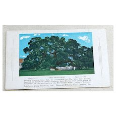 "Vintage Postcard ""The President"" World's Largest Live Oak Tree"