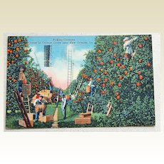 1947 Postcard Picking Oranges Near New Orleans